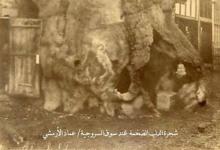 دمشق - شجرة الدلب المقدسة في السنجقدار (1)