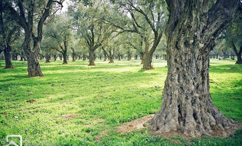 صورة كرم زيتون في أراضي معضمية الشيخ (الشام) عام 1998